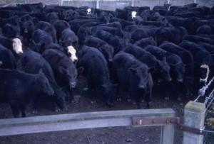 Feed lot beef