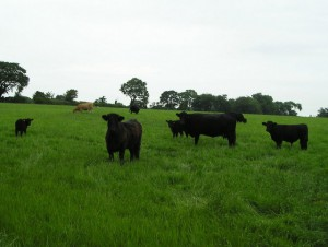Beef cows on lush grass