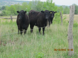grass fed beef cows