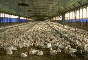 Factory broiler farming